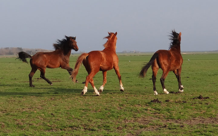 Dutch dressage horses