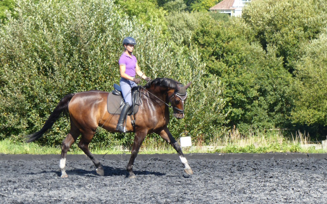 Stunning KWPN 17hh Dressage Horse for Sale